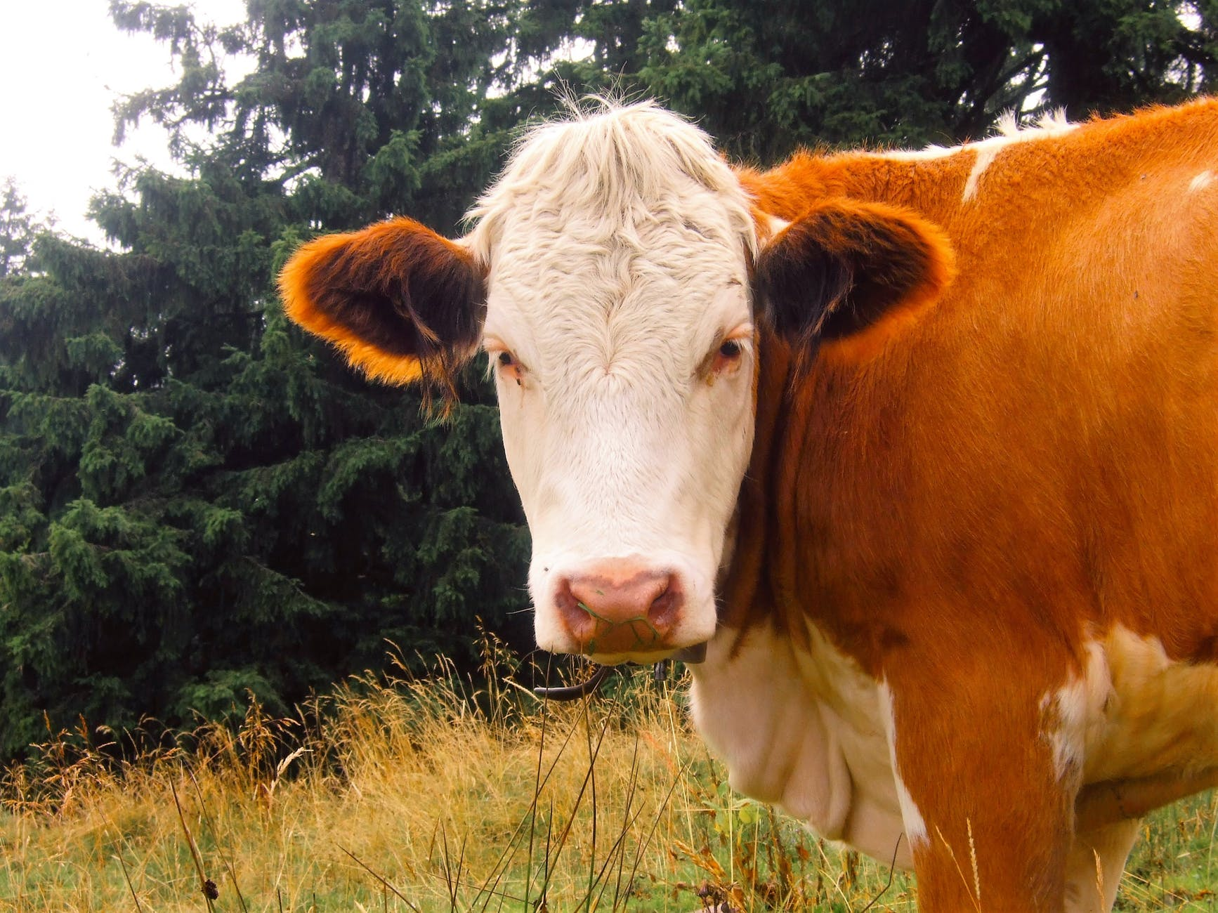 nature animals alps cow
