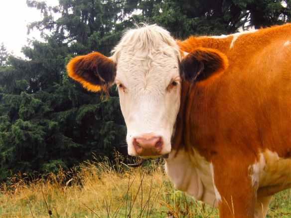 nature animals alps cow