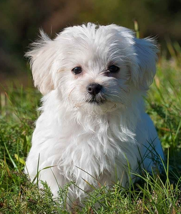A random Maltese puppy without a Mexican sock puppet on its back.